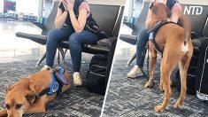 Este perro de servicio ayuda a su dueña que tiene un ataque de pánico en un aeropuerto, y es hermoso