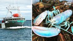 Esta langosta fue atrapada en la costa de la Isla de Grand Manan y es una pesca de 1 en 100 millones