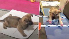 Este cachorro abandonado con síndrome del nadador aprende a caminar en 2 meses con amorosos cuidados