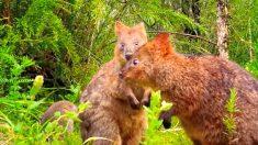 """Incremento de quokkas en Australia aleja a la especie """"más feliz del mundo"""" del peligro de extinción"""