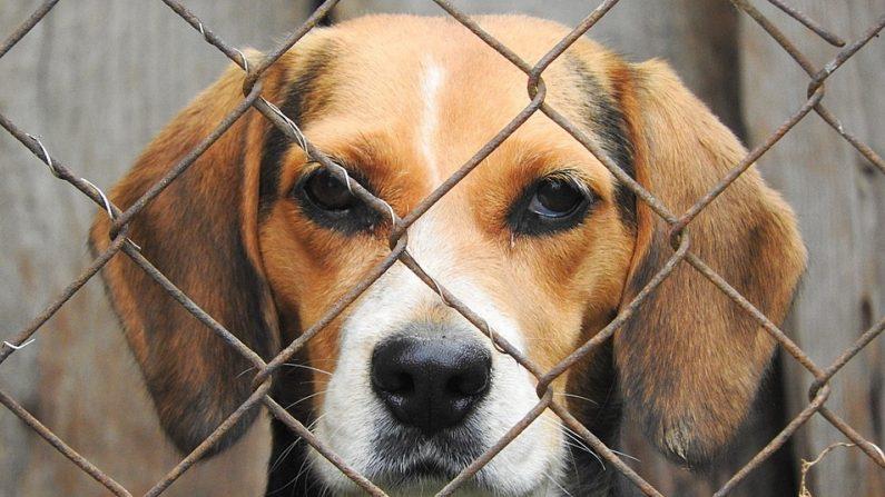 9 beagles rescatados de un laboratorio científico huelen y sienten el pasto fresco por primera vez