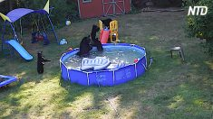 Miran por la ventana del patio trasero y ven a una familia de osos negros que juegan en su piscina