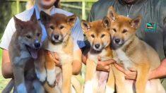 Cómo decidieron llamar a los cachorritos Dingo adorados por todo el mundo
