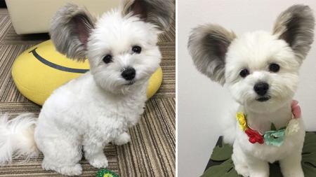 ¡Este adorable cachorro con orejas de Mickey Mouse es muy adorable!