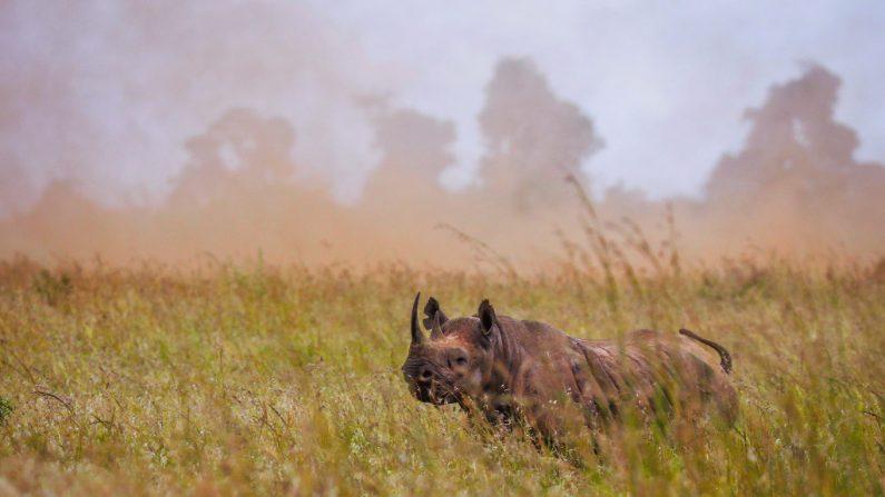 NAIROBI (KENIA), 06/26/2018.- Un rinoceronte negro hembra se pasea antes de ser trasladada durante unas maniobras de traslado en el Parque Nacional de Nairobi, Kenia, hoy 26 de junio de 2018. EFE/ Dai Kurokawa