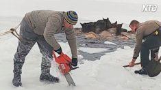 Valiente rescate: Compiten contra el reloj para salvar a los alces atrapados en el lago congelado
