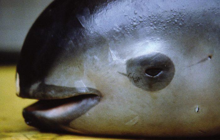 Fotografía de archivo con fecha del 8 de marzo de 2008 y cedida por el Fondo Mundial para la Naturaleza (WWF), de una Vaquita Marina que sobrevive a su propio mito en aguas del Mar de Cortés, en el noroeste de México, mientras las autoridades intentan evitar su inminente desaparición. EFE/Omar Vidal /WWF/SOLO USO EDITORIAL/NO VENTAS
