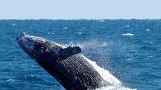 Rescatan con éxito una ballena varada en una isla del Caribe mexicano