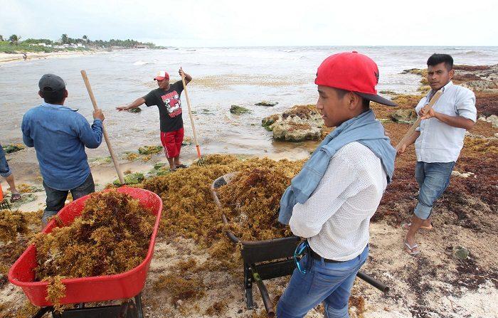 México buscará desviar el sargazo antes que llegue a sus costas del Caribe Varios pescadores sacan sargazo de una playa hoy, miércoles 8 de agosto de 2018, en Tulum, en el estado de Quintana Roo (México). EFE