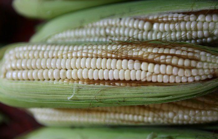 MEX050.CIUDAD DE MÉXICO (MÉXICO),09/08/2018.- Fotografía de archivo fechada el 23 de febrero de 2013, que muestra mazorcas de maíz, exhibidos en un mercado en Ciudad de México (México). Un reciente estudio internacional descubrió que el maíz de la Sierra Mixe, nativo de México, puede fijar el nitrógeno de la atmósfera y así reducir el uso de fertilizantes químicos en la agricultura, informó hoy el Gobierno mexicano. EFE/Sáshenka Gutiérrez/Archivo