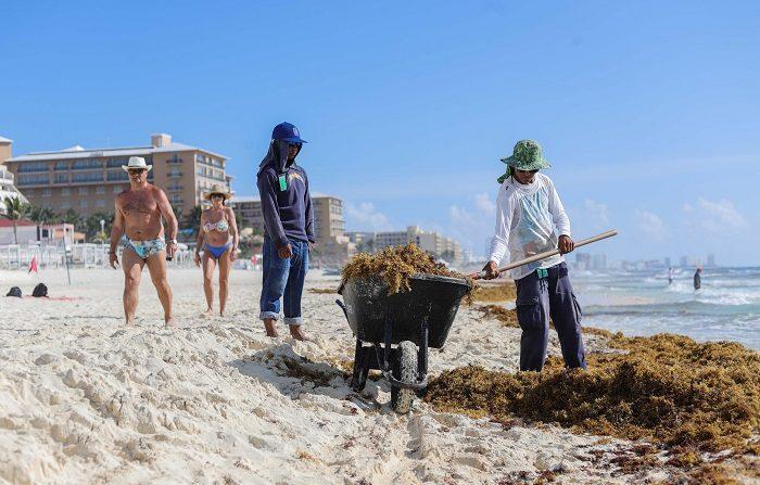 Mexicanos usan algas, cebolla y estiércol para crear energía limpia Un empleado limpia de sargazo las playas hoy, miércoles 22 de agosto de 2018, en Cancún, estado de Quintana Roo (México). Investigadores mexicanos utilizan restos de alga de sargazo, cebolla y estiércol de gallina (gallinaza) para generar biocarbón disponible para generar y almacenar energía limpia, informó hoy el Instituto Politécnico Nacional (IPN). EFE