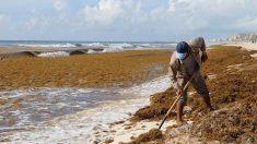 La maldición del sargazo se puede convertir en una bendición para la producción de hongos en México