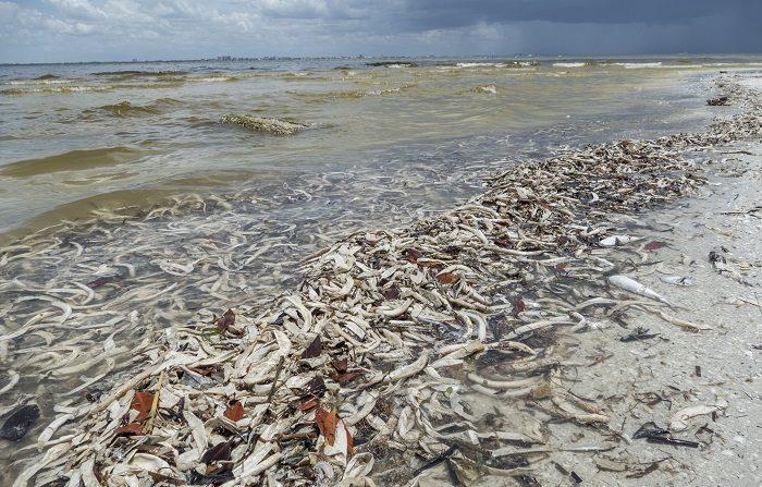 """Vista de cientos de peces muertos hoy, viernes 3 de agosto de 2018, en la playa Gulfside City Park, en Sanibel, costa oeste de la Florida (EE.UU.). La """"marea roja"""" que afecta desde hace días la costa suroeste de Florida continúa hoy arrastrando miles de peces muertos hasta playas como la de Sanibel, una isla cuyas aguas muestran en algunas zonas el tono rojizo característico de la floración de la microalga tóxica causante de esta contaminación. EFE/Giorgio Viera"""