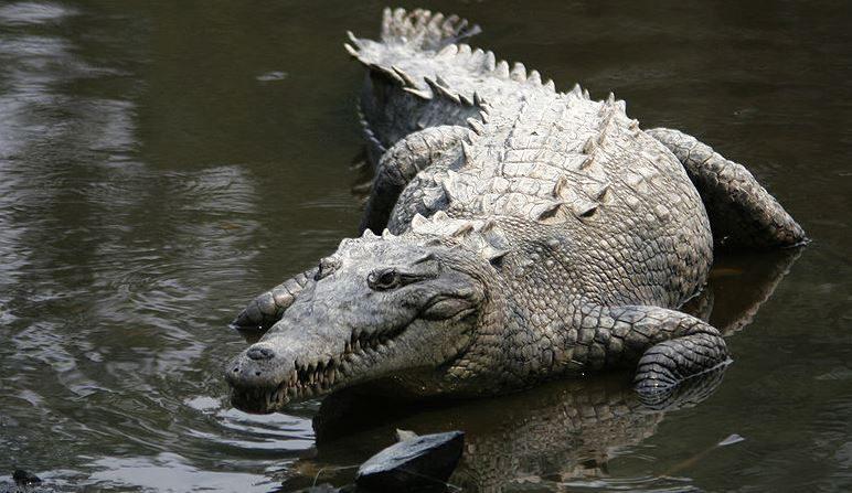 Imagen de archivo de un cocodrilo. (Wikimedia)