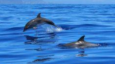 Manada de delfines salva la vida de una ballena jorobada y su bebé frente a un grupo de turistas