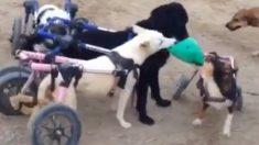 Perros en sillas de ruedas se divierten en este fantástico juego de todos contra todos