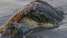 ¿Qué pasa en las costas mexicanas? Encuentran muertas 105 tortugas sin explicación
