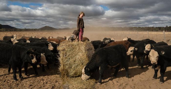 Heidi Taylor, de 7 años de edad, juega en una paca de heno donada, mientras el ganado hambriento recibe un alimento atrasado. En la región centro-occidental de Nueva Gales del Sur, Australia, los agricultores continúan luchando contra una sequía devastadora que muchos lugareños califican de la peor desde 1902. (Foto de Brook Mitchell/Getty Images)