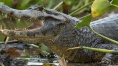 Mujer paseaba a su perro cuando caimán la arrastra y la mata en el agua