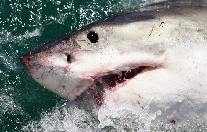 Un gran tiburón blanco en Gansbaai, Sudáfrica. (Foto de Dan Kitwood/Getty Images)