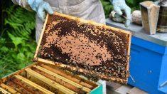 Muerte de millones de abejas siembra incertidumbre en apicultores mexicanos