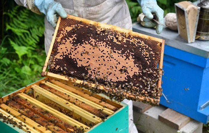 """Los apicultores, se ven obligados a reducir a cenizas """"el 90 % de sus colmenas y un año de producción"""". Desamparados, piden una conciencia colectiva sobre los peligros de los pesticidas dañinos para las abejas. (Foto de Fred TANNEAU / AFP) (El crédito de la foto debe leer FRED TANNEAU/AFP/Getty Images)"""