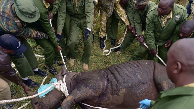 Desconcierta muerte de 11 rinocerontes en Kenia por beber agua con sal