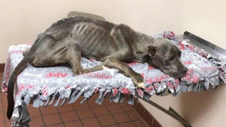 Este buen hombre lloraba de tristeza cuando rescató a un pitbull maltratado que pesaba solo 11 kilos