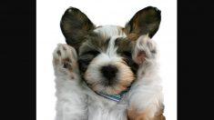 Las extrañas orejas de este dulce peludito están causando sensación en las redes