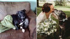 La dueña de este pitbull con cáncer terminal, cuida de él para que pueda acompañarla en su boda