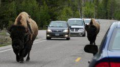 Video: acosa a un bisonte en el tráfico del Parque Nacional Yellowstone y termina arrestado