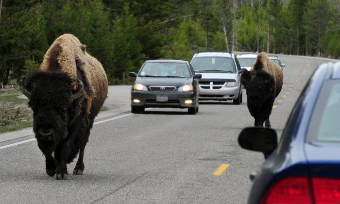 Bisonte Americano (también conocido como búfalo) uniéndose al viaje de la mañana en la carretera 89 en el Parque Nacional de Yellowstone, Wyoming el 1 de junio de 2011. (Mark Ralston/AFP/Getty Images)