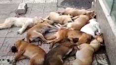 PETA critica al régimen de China por perros asesinados y amontonados en una calle