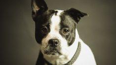 Este cachorro es rescatado de las peleas de perros. Mira cómo se ve después de una larga recuperación