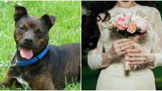 La dueña de este pitbull muy enfermo cuida de él para que pueda acompañarla en su boda