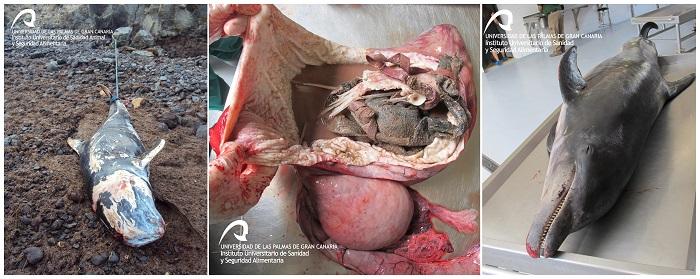 Combo de fotografías facilitadas por la Universidad de las Palmas de Gran Canaria. El vertedero en el que se han convertido los océanos en las últimas décadas también pone en grave riesgo a los cetáceos: un estudio publicado este mes revela que al menos tres de cada cien muertes de estos animales pueden atribuirse directamente a problemas derivados de comer plástico. EFE