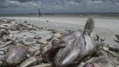 Mortandad de peces por la marea roja espanta a turistas de costa de Florida