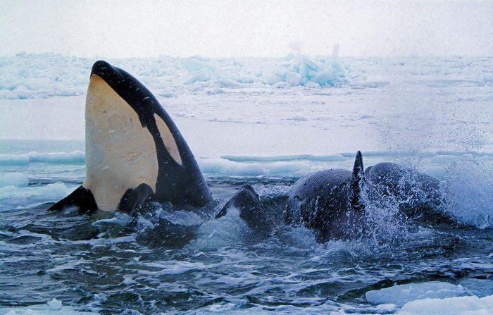 Las concentraciones actuales de bifenilo ploriclorado (PCB), un compuesto químico formado por cloro, carbón e hidrógeno, amenazan con extinguir las orcas, según un estudio publicado hoy en la revista especializada Science. EFE/ARCHIVO/SOLO USO EDITORIAL
