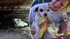 Gracias a un rescate perfecto, está madre y sus cachorros se salvan del ataque de cientos de pulgas