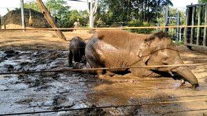 Muere una elefante muy querida en zoológico de Sídney dejando a todo el personal con el corazón roto