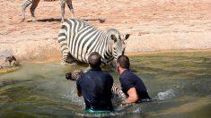 Estos guardianes del zoológico rescatan a una cebra recién nacida para que no se ahogue