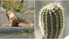 Bebé coyote atrapado en un cactus aúlla de dolor, pero esta gente bondadosa hace un increíble trabajo
