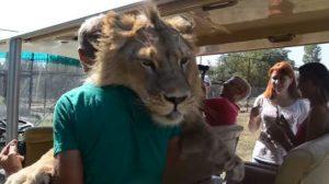 León salta sobre los turistas en safari solo buscando las caricias de todos