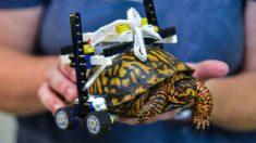 Genial silla de ruedas Lego trae esperanzas de recuperación a tortuga con el caparazón destrozado