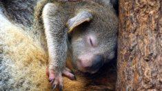 Récord de bebés en zoo australiano con koalas, dingos, emús y demonios de Tasmania