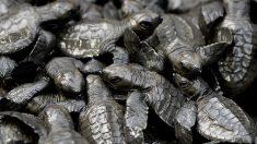 Contaminación por plástico y pesca amenazan a las tortugas marinas en América