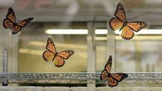 México, Canadá y EEUU usan ciencia ciudadana para conservar mariposa monarca