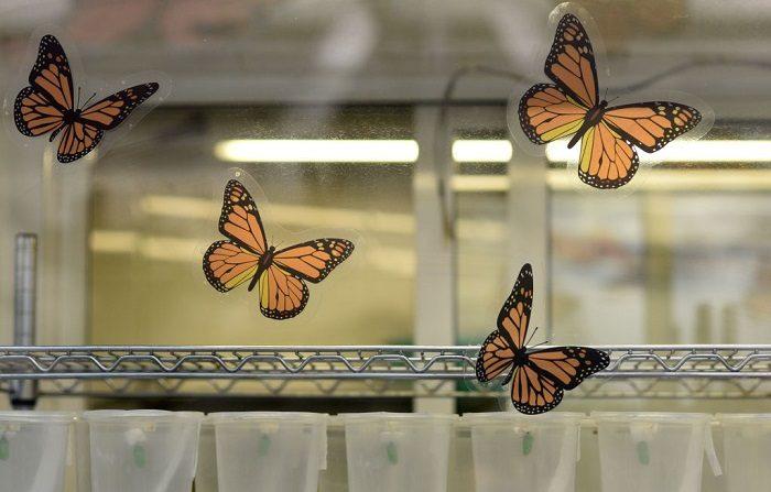Los capullos de la mariposa monarca (Danaus plexippus) son fotografiados en una granja de mariposas en el zoológico de Chapultepec en la Ciudad de México. Las mariposas monarcas llegan a México cada año después de haber recorrido más de 4.500 kilómetros desde los Estados Unidos y Canadá. FOTOGRAFÍA DE AFP / PEDRO PARDO (El crédito de la foto debe leer PEDRO PARDO/AFP/Getty Images)