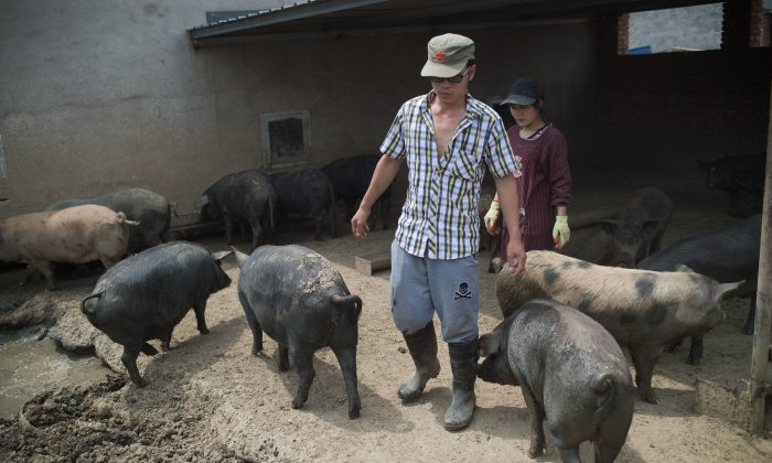 Los granjeros miran a sus porcinos en una granja de cerdos en las afueras de Beijing, en esta foto el 5 de junio de 2017 (NICOLAS ASFOURI/AFP/Getty Images)