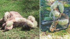 Bebé coyote atacado por cactus aúlla de dolor, pero humanos bondadosos hacen un trabajo increíble